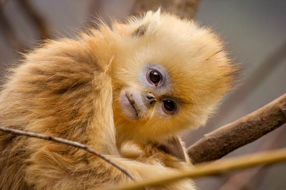 Born in China Golden Snub-Nosed Monkey