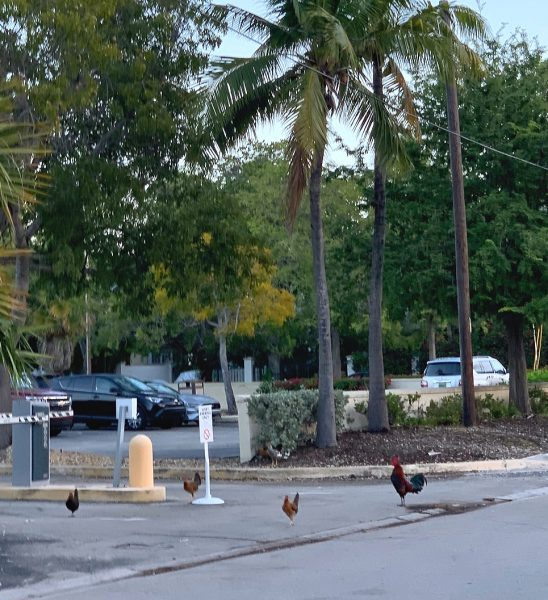 famous Key West roosters